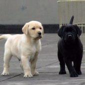 拉布拉多导盲犬