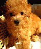 高品质泰迪犬