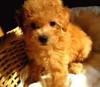 (出售)纯种泰迪幼犬 哪里有