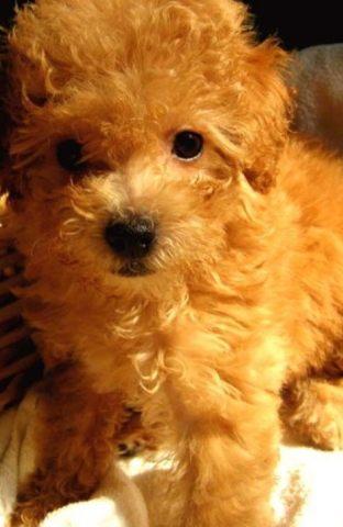 泰迪吃什么狗粮好 对比几款狗粮的价格