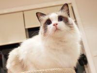 布偶猫的食物与禁忌
