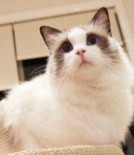 佛山哪里有卖布偶猫多少钱一只做好疫苗驱好虫请放心购买