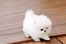 东莞哪有博美犬出售