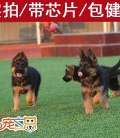 深圳哪里有德国牧羊犬卖 买狼狗怎么选 德牧多少钱 深圳狗场
