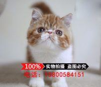 加菲猫 活体 幼猫小奶猫宠物