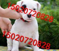 小杜高犬的价格图片 纯种杜高