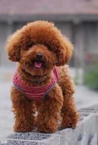 纯种泰迪等二十多热销宠物狗 最低300元起售