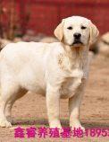 出售拉布拉多幼犬 哪里有卖纯种健康拉布拉多