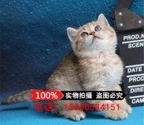 猫舍出售英国短毛猫银渐层活体