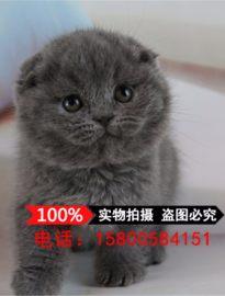 活体猫咪苏格兰折耳猫蓝虎斑渐层英短折耳幼猫幼崽