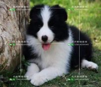 帅气边境牧羊犬,七白到位,黑