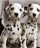 斑点狗-武汉名犬