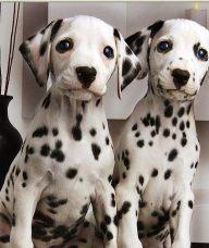斑点狗-杭州名犬