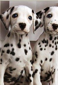 斑点狗领养