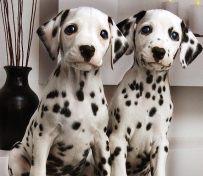 斑点狗-上海名犬