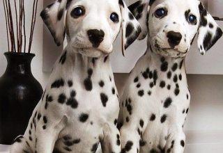 斑点狗-天津名犬