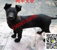 2月大纯种黑狼犬价格图片 黑