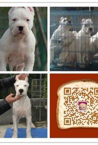 时尚萌宠十多年的养殖经验 养殖纯种杜高幼犬