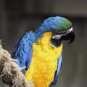 蓝喉金刚鹦鹉2