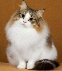母猫发情时间 猫发情前期持续1到3天左右