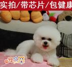 深圳哪里买比熊犬好 深圳纯种比熊犬哪家有 深圳狗场 比熊价格