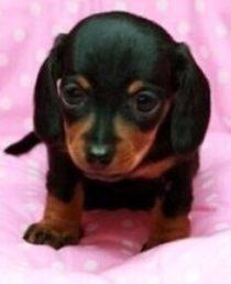 小型犬腊肠犬出售 铁包金腊肠犬 纯种健康 价格便宜