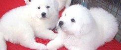 雪白的大白熊幼犬 聪明活泼可爱