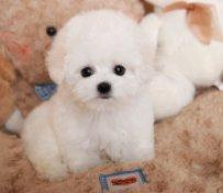 【天津宠物狗专卖】比熊犬