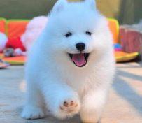 澳版 熊版萨摩幼犬 纯种公母