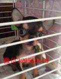 小型犬苹果头吉娃娃出售 黄白花纯种健康