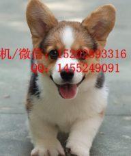 重庆哪里有柯基犬卖 重庆的柯基好多钱一只