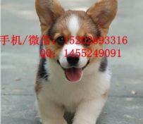 重庆哪里有柯基犬卖 重庆的柯