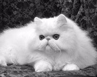 母猫发情怎么办 可以采用绝育手术来治疗