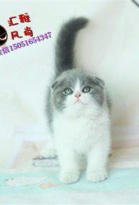 (包纯种健康)折耳猫 宠物 幼猫高地折耳活体折耳猫