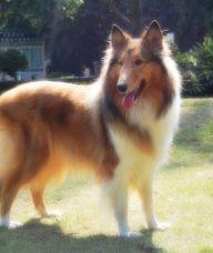 昆明宠物专卖店出售苏格兰牧羊犬