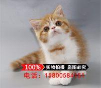猫舍出售加菲猫幼猫活体宠物