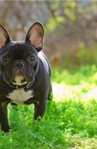 法国斗牛犬智商排名 法斗的智商排名在58位