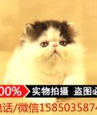 CFA血统纯种加菲猫宠物DDMM异国长毛猫波斯猫幼