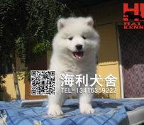 纯种萨摩耶犬
