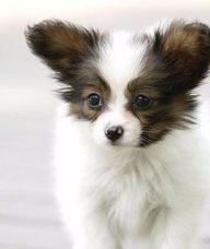 蝴蝶犬-杭州名犬