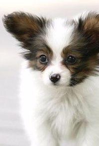 长沙宠物专卖店出售蝴蝶犬