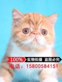 出售宠物猫加菲猫异国短毛猫活体幼猫红虎斑梵文黄白加