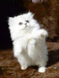 猫舍直销 波斯 布偶 蓝猫 加菲 美短 折耳 暹罗