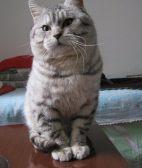 大同苏格兰折耳 波斯 梵花 渐层 豹猫 加白 起司包纯种健康