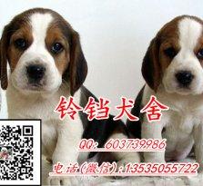 广州哪里有卖比格犬