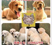 广州拉布拉多犬价格 广州哪里