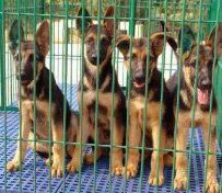 纯种德国牧羊犬出售