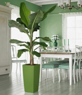 室内观叶植物-天堂鸟
