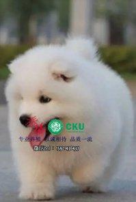 重庆萨摩耶幼犬多少钱一只