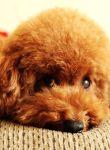 金毛寻回犬粘人程度 金毛寻回犬还是比较粘人